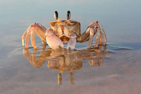 burrowing: Alert ghost crab  Ocypode ryderi  on the beach, South Africa