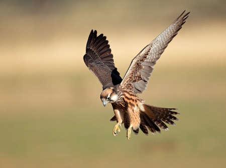 halcones: Lanner Falcon Falco biarmicus de aterrizaje con las alas extendidas, Sudáfrica