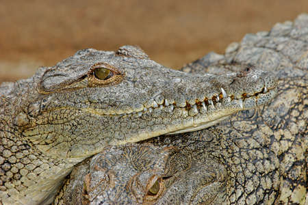 Portrait of a nile crocodile - Crocodylus niloticus, South Africa Stock Photo - 13420225