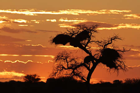 Sunset with silhouetted African Acacia tree and clouds, Kalahari desert, South Africa photo