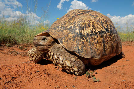 Leopard tortoise - Stigmochelys pardalis, South Africa photo
