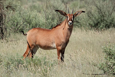 roan: A a rare roan antelope - Hippotragus equinus, South Africa Stock Photo