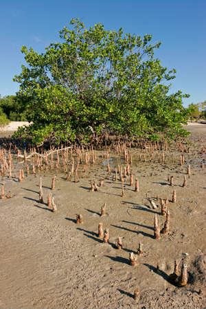 mangrove forest: Mangrove tree at low tide, Vilanculos coastal sanctuary, Mozambique, southern Africa