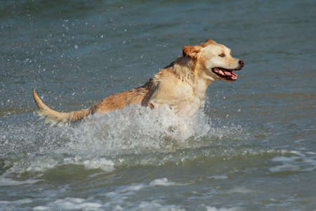 Golden retriever running and playing in shallow water on the beach  photo