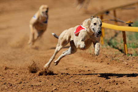 fast foot: Greyhound at full speed during a race  Editorial