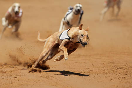 greyhound: Greyhound at full speed during a race  Editorial