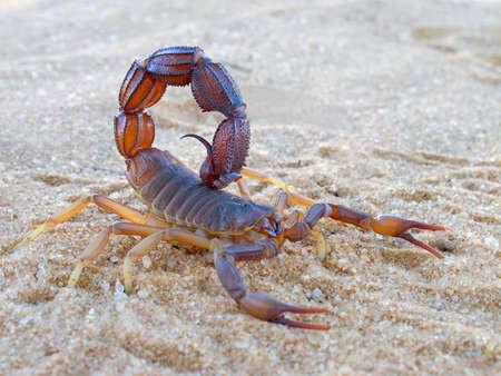 pinchers: Aggressive scorpion (Parabuthus spp.), Kalahari desert, South Africa