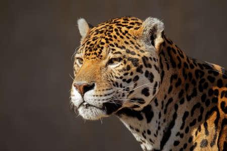panthera onca: Portrait of a male jaguar (Panthera onca)   Stock Photo