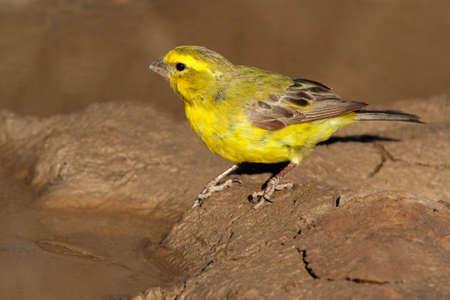 wild canary: Yellow canary (Serinus mozambicus), Kalahari, South Africa  Stock Photo