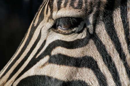 zebra face: Close-up of the eye of a Plains (Burchells) Zebra (Equus quagga), South Africa