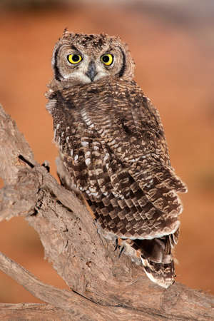 southern africa: Spotted eagle-owl (Bubo africanus), Kalahari, South Africa