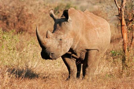 흰색 (광장 입술) 코뿔소 (Ceratotherium의 simum), 크루거 국립 공원, 남아프리카 공화국