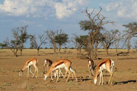 conservation grazing: A small herd of springbok antelopes - Antidorcas marsupialis - grazing, Kalahari desert, South Africa