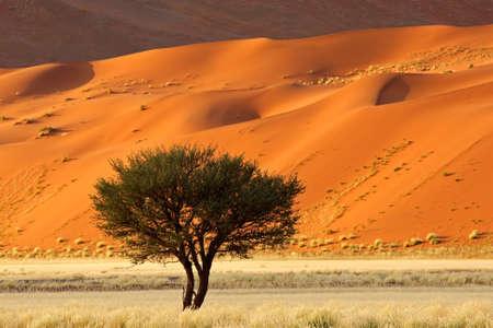 Red Sanddüne mit einem afrikanischen Acacia Baum und Gräsern Wüste, Sossusvlei, Namibia, südliches Afrika