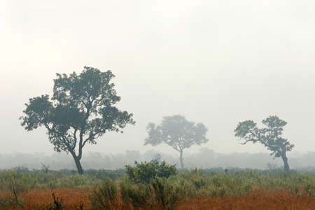 kruger national park: Trees in mist, early morning, Kruger National Park, South Africa