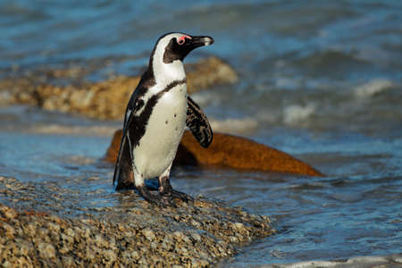 African penguin (Spheniscus demersus) on a rocky beach, Western Cape, South Africa  photo