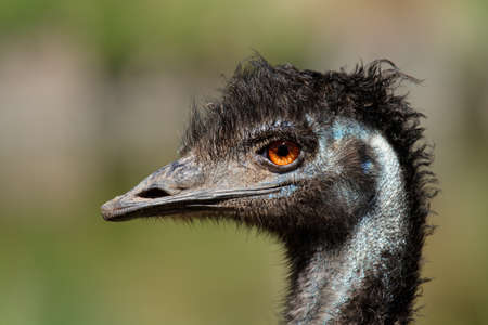 emu: Retrato de un Emú (Dromaius novaehollandiae), Australia
