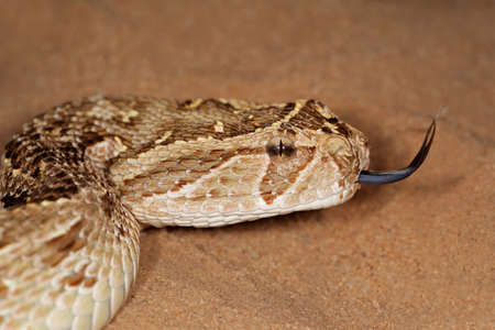 slither: Close-up of a puff adder (Bitis arietans) snake with flicking tongue