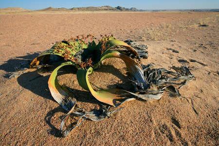 mirabilis: Antica pianta Welwitschia (Welwitcshia mirabilis), Namib-Naukluft National Park, Namibia, Sud Africa Archivio Fotografico