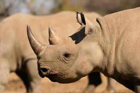 Portrait of a black (hooked-lipped) rhinoceros (Diceros bicornis), South Africa