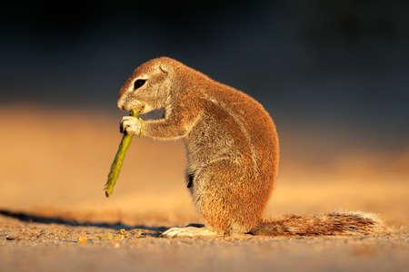 Feeding ground squirrel (Xerus inaurus) in late afternoon light, Kalahari desert, South Africa   photo