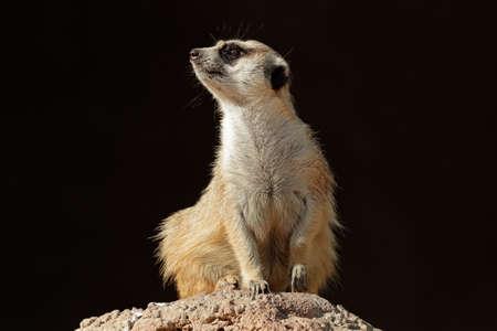 suricatta: Alert meerkat (Suricata suricatta) on guard on top of an anthill, South Africa  Stock Photo