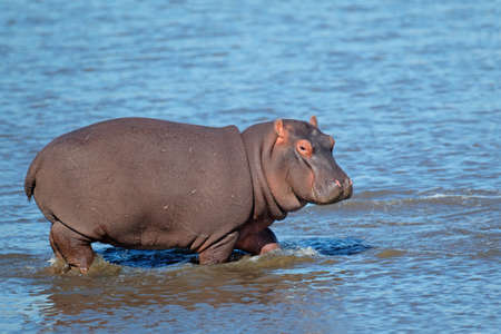 hippopotamus: Young Hippopotamus (Hippopotamus amphibius) walking in shallow water, South Africa  Stock Photo