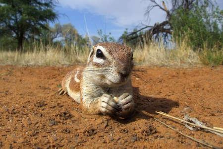 Inquisitive ground squirrel (Xerus inaurus) lying on the ground, Kalahari desert, South Africa Stock Photo - 14563528