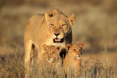 Lioness with young lion cubs (Panthera leo) in early morning light, Kalahari desert, South Africa  Stok Fotoğraf