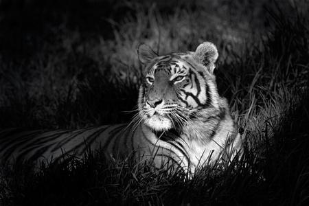 벵골 호랑이의 흑백 이미지 (표범 속 티그리스 bengalensis) 잔디에 누워