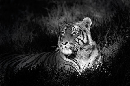 Monochrome image of a bengal tiger (Panthera tigris bengalensis) laying in grass