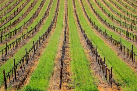 Symmetrical pattern of vines and green grass of a vineyard, Cape Town area, South Africa  photo