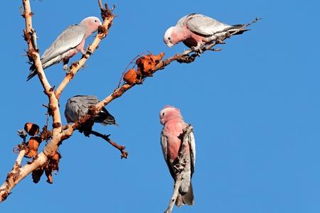 northern nature: Galah Cockatoos (Cacatua roseicapilla), Kakadu National Park, Northern territory, Australia