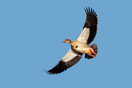 alopochen: Egyptian goose - Alopochen aegyptiacus - in flight with outstretched wings, South Africa