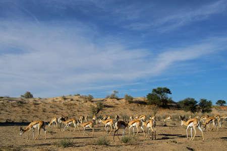 A small herd of springbok antelopes - Antidorcas marsupialis - grazing, Kalahari desert, South Africa photo