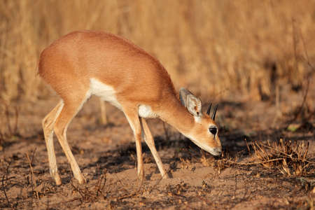 campestris: Male steenbok antelope - Raphicerus campestris, South Africa