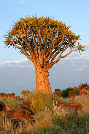 dichotoma: Quiver tree (Aloe dichotoma) in early morning light, Namibia, southern Africa