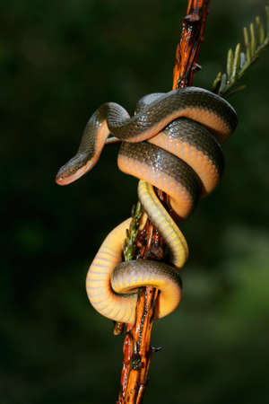 Close-up of an Aurora house snake (Lamprophis aurora), South Africa  photo