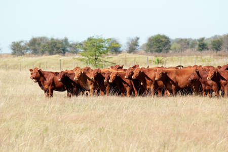 red heifer: Red angus cattle on pasture  Stock Photo