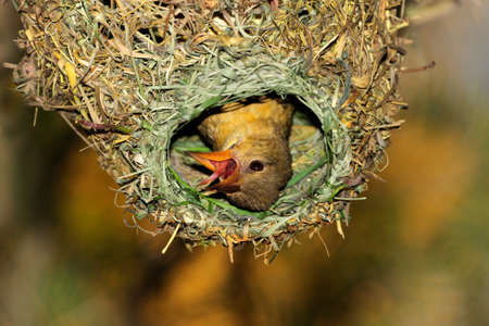 weaver bird nest: Female Cape weaver (Ploceus capensis) in her nest, South Africa