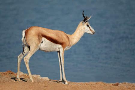 springbuck: Springbok antelope (Antidorcas marsupialis), Etosha National Park, Namibia, southern Africa