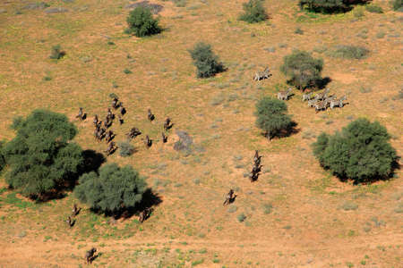 aerial: Veduta aerea di zebre delle pianure (Equus quagga) e blu gnu (Connochaetes taurinus), Sud Africa