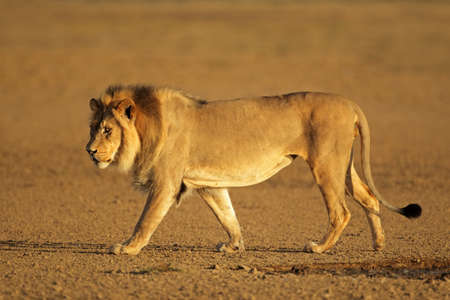 kalahari: Big male African lion walking (Panthera leo), Kalahari desert, South Africa  Stock Photo