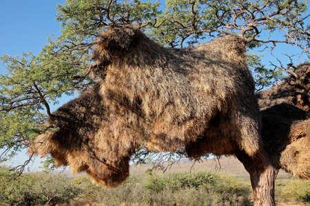 sociable: Nido comunale di socievole tessitori - Philetairus Socio - in un albero di Acacia africano, Kalahari, Sud Africa Archivio Fotografico