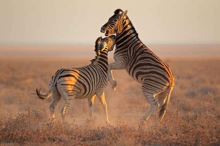 Two Plains Zebra stallions - Equus burchelli - fighting, Etosha National Park, Namibia Stock Photo - 16559101
