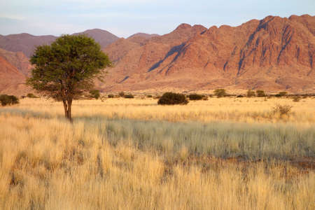 Desert landscape with grasses and African Acacia trees in late afternoon light, Namibia, southern Africa photo