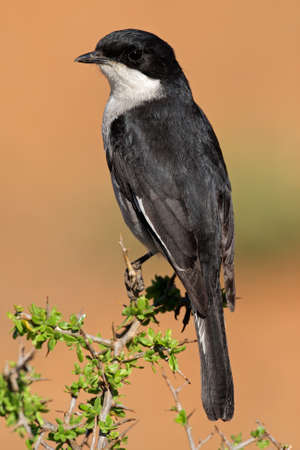 aerial animal: A fiscal flycatcher - Sigelus silens - perched on a twig, South Africa