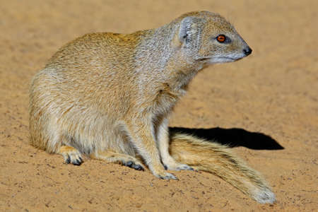mongoose: Yellow mongoose - Cynictus penicillata, Kalahari desert, South Africa
