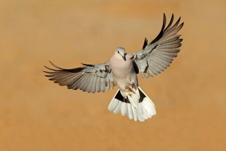Cape turtle dove - Streptopelia capicola - in flight, Kalahari desert, South Africa Stok Fotoğraf