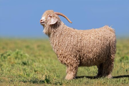 Angora goat standing in green pasture against a blue sky